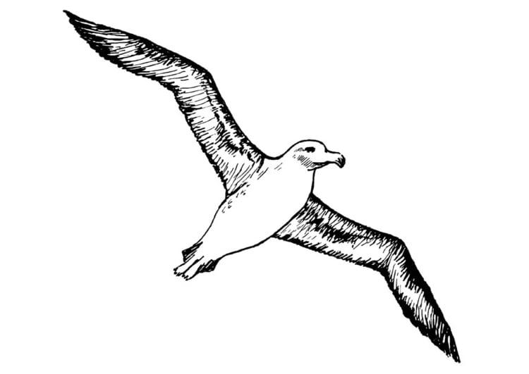 Coloring Page Albatros