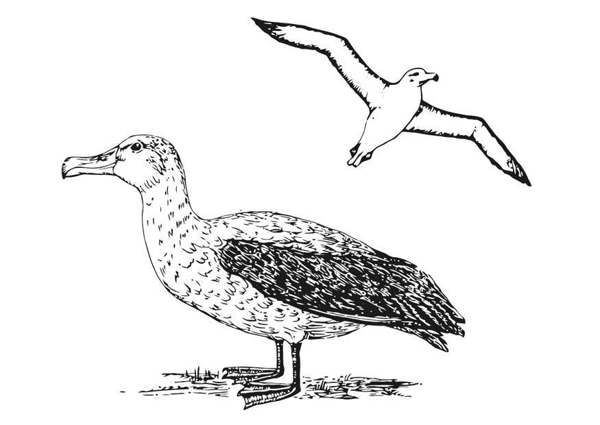 Coloring Page Albatross Free Printable Coloring Pages