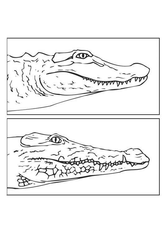 coloring page alligator and crocodile - Coloring Page Alligator