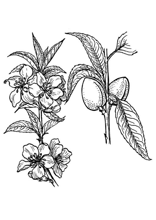 Coloring Page Almond Tree Img 18910