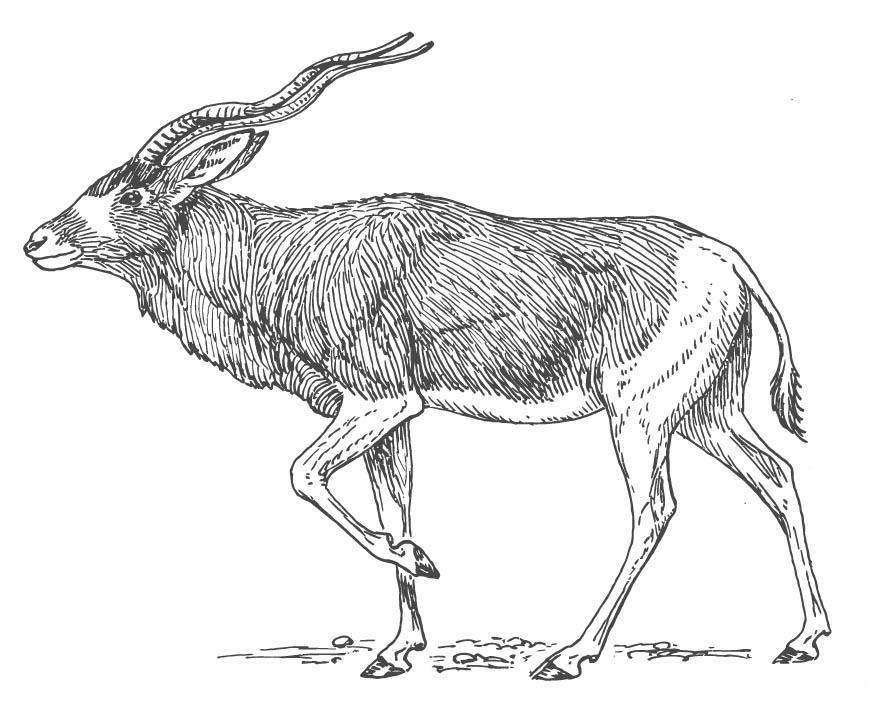 Coloring page Antelope img 15698