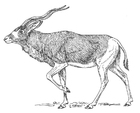 Coloring pages Antelope