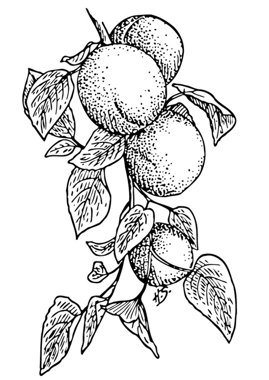 Coloring page apricots