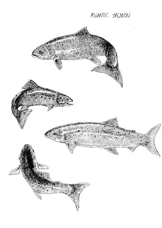 Coloring page atlantic salmon