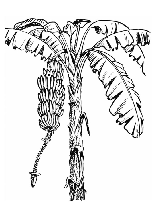 Coloring page Banana Tree