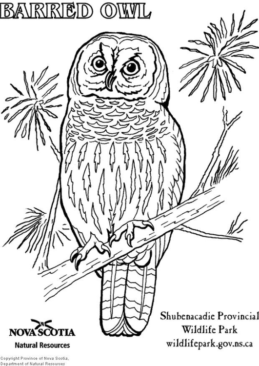 Coloring page barred owl