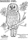 Coloring pages barred owl