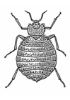 Coloring pages Bedbug