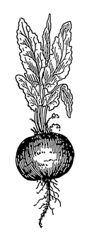 Coloring page Beetroot