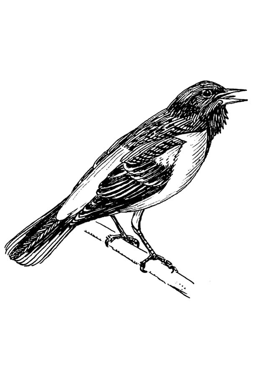 Coloring page bird - Baltimore Oriole