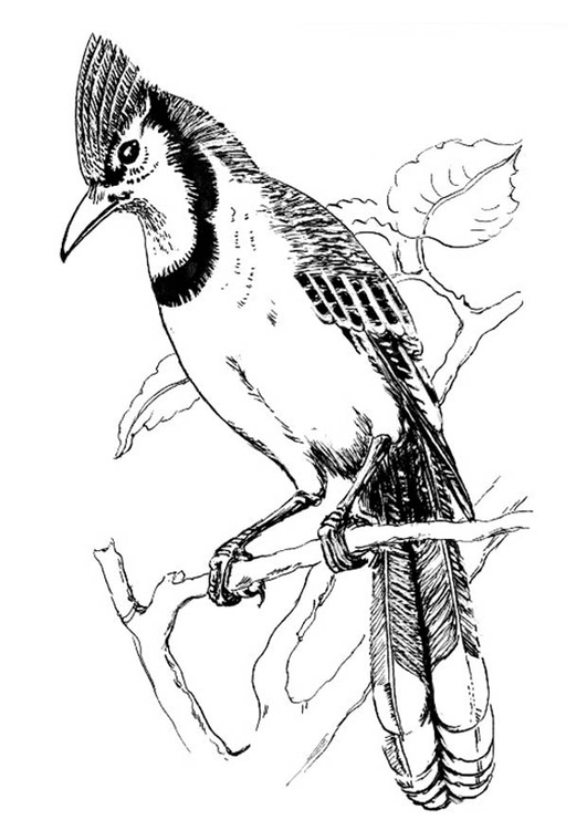 Coloring page bird - Blue Jay