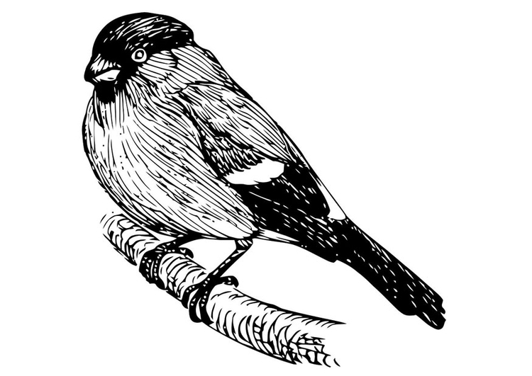 Coloring page bird - bullfinch