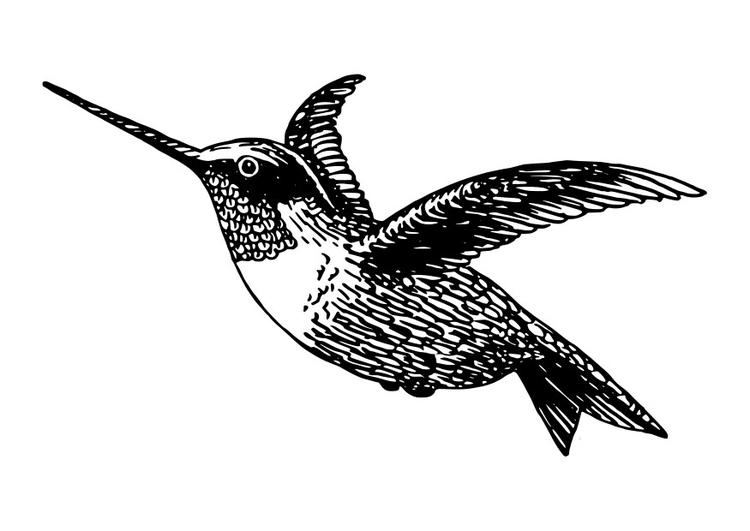 Coloring page bird - hummingbird