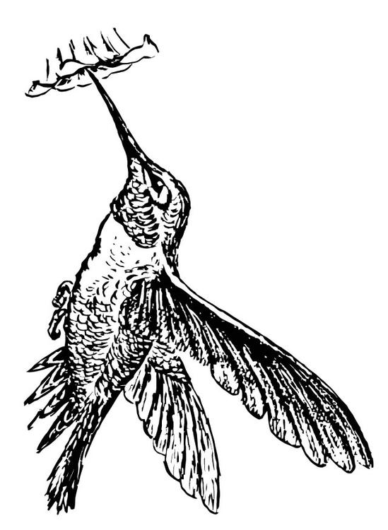 bird - Hummingbird