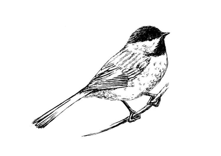 Coloring page bird - Tit