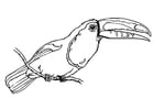 Coloring pages bird - toucan