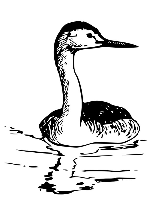 Coloring page bird - western grebe