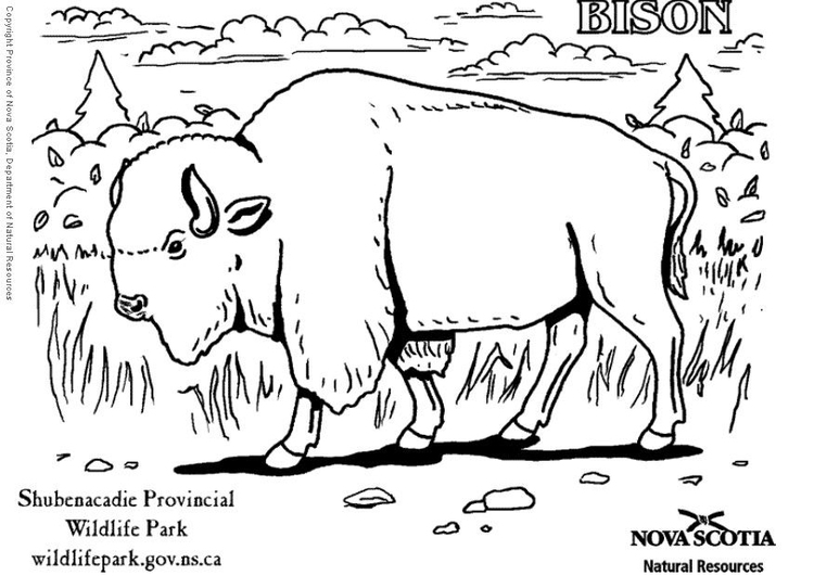 Coloring page bison