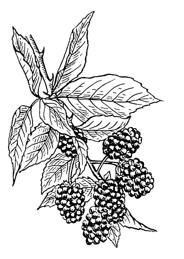 coloring pages blackberries - photo#27