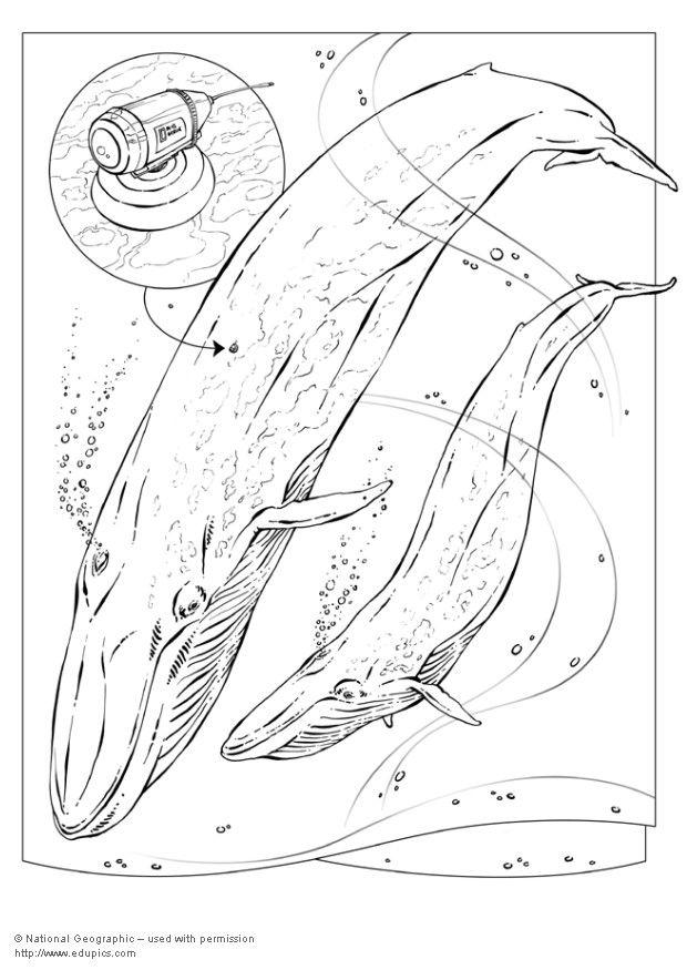 - Coloring Page Blue Whale - Free Printable Coloring Pages