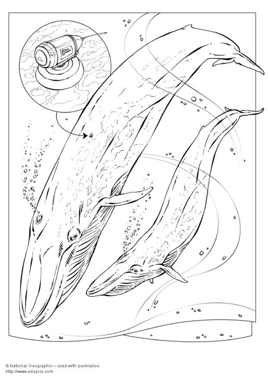 Coloring page blue whale