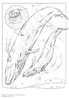 Coloring pages blue whale
