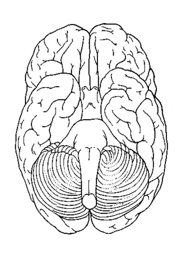 coloring page brain  bottom view