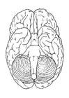 Coloring page brain, bottom view