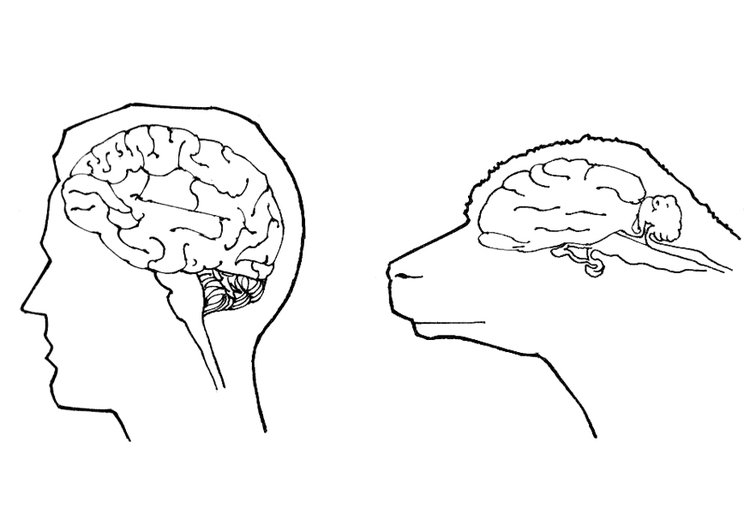 Coloring page brains of human and sheep