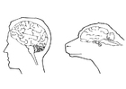 Coloring pages brains of human and sheep