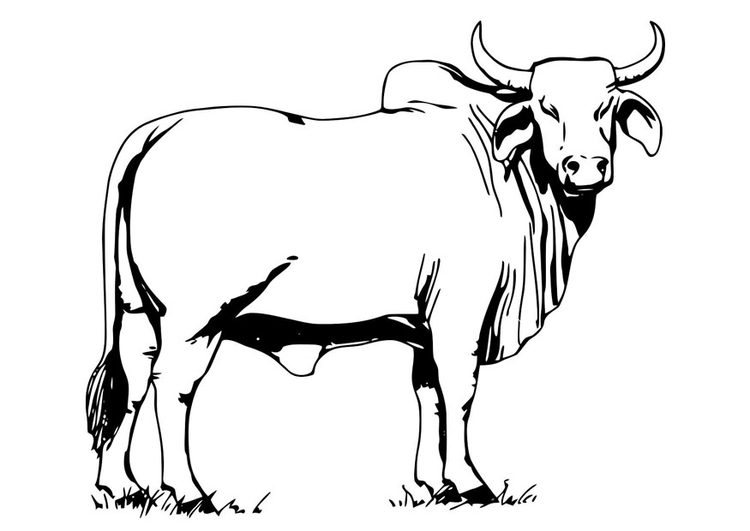 Coloring page bull - Brahman