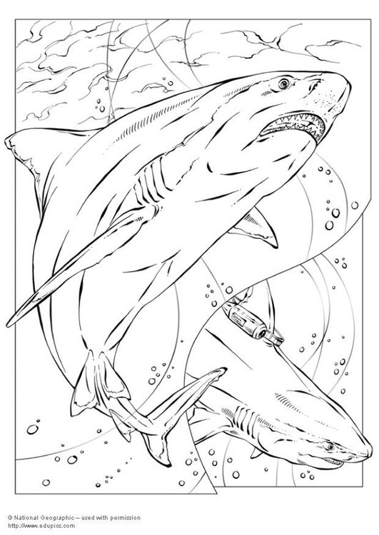 Superbe Coloring Page Bull Shark