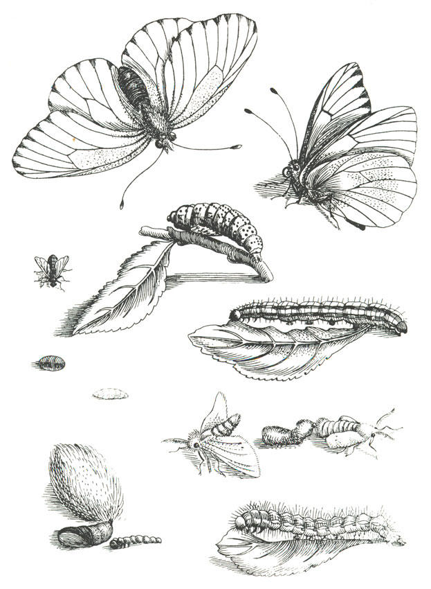 Coloring Pages Of The Butterfly Life Cycle. Download large image Coloring page butterfly life cycle  img 19659