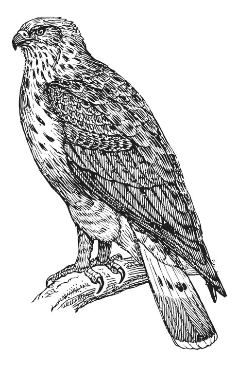 Coloring page buzzard