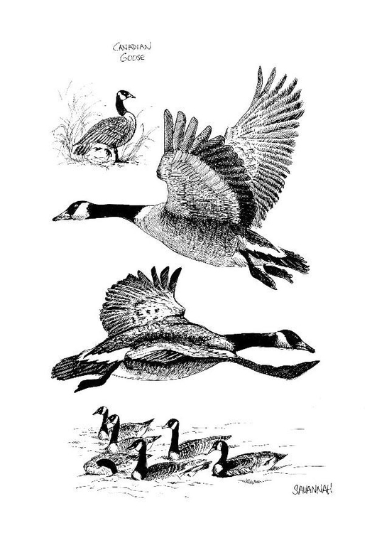 Coloring Page Canadian Goose