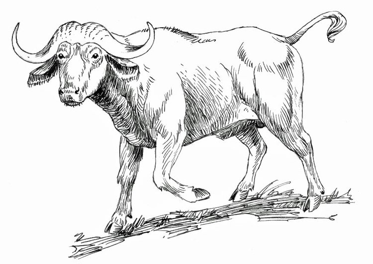 Coloring page cape buffalo