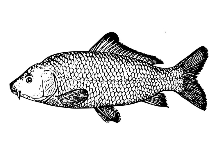 Coloring page Carp