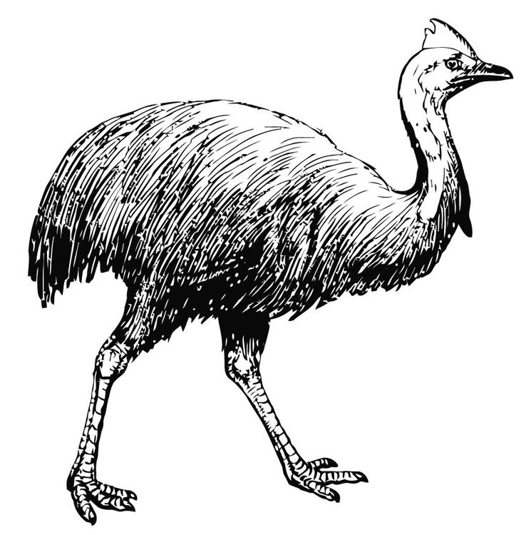 Coloring page cassowary