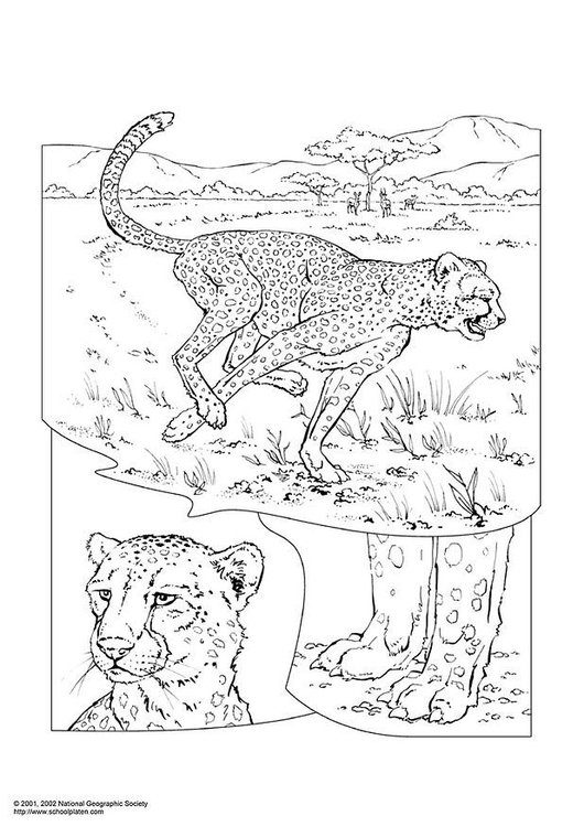 Coloring page cheetah