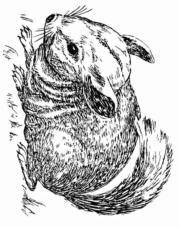 Coloring page chinchilla img 15755