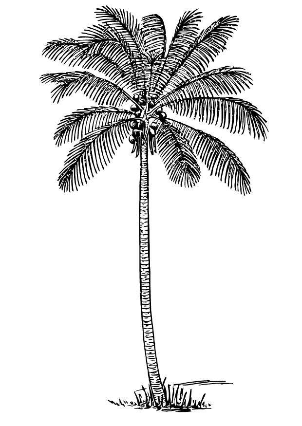 Coloring page coconut tree - img 13356.