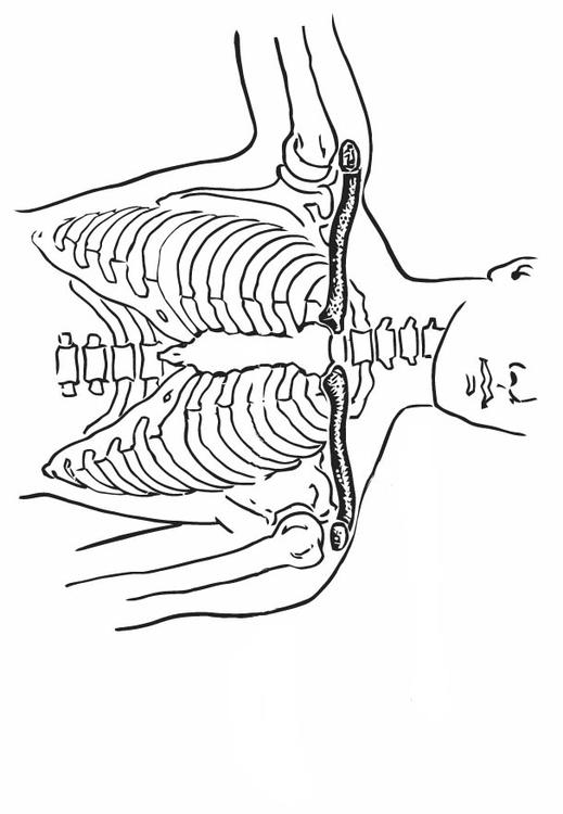Collarbone and Breastbone