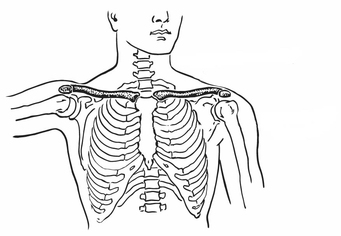 Coloring page Collarbone and Breastbone
