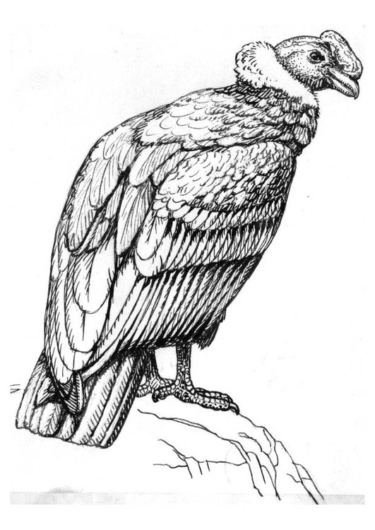 Coloring Page Condor