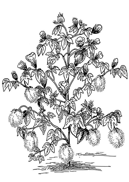 Coloring page Cotton Plant