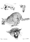 Coloring pages cougar