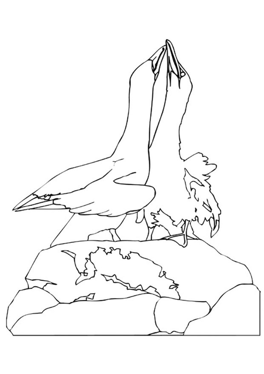 Coloring page courting albatroses