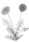 Coloring pages dandelion