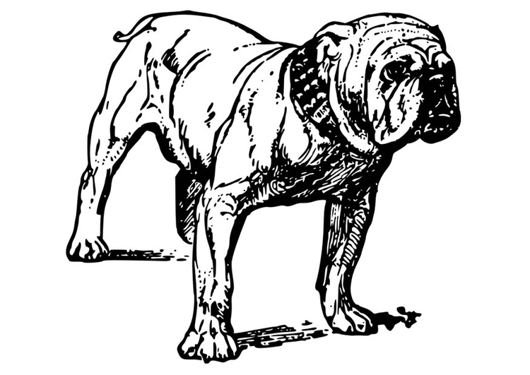 Coloring page Dog - Bulldog