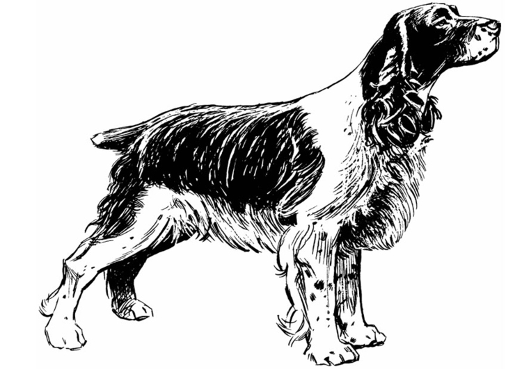 Coloring page dog - cocker spaniel